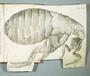 Micrographia_flea
